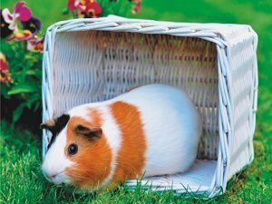 3D Wenskaart Guinea Pig Back to Nature
