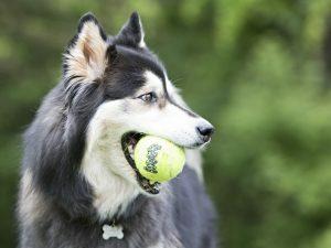 KONG Air Squeaker Tennis Ball S 5 cm 3 pcs.